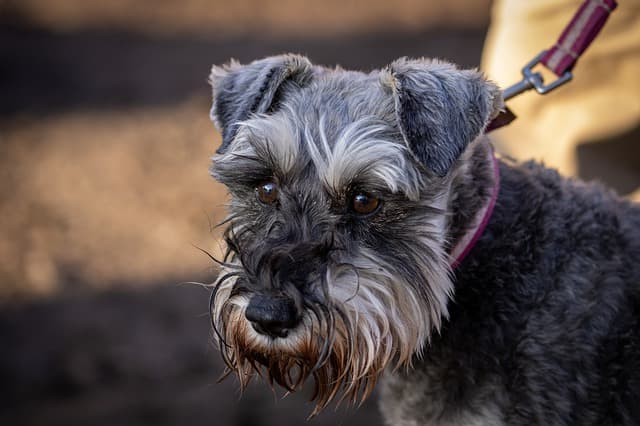 smooth fox terrier dog names