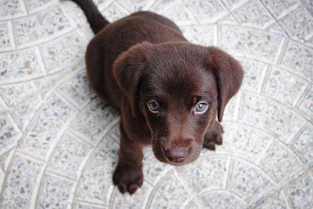 Black Labrador Names