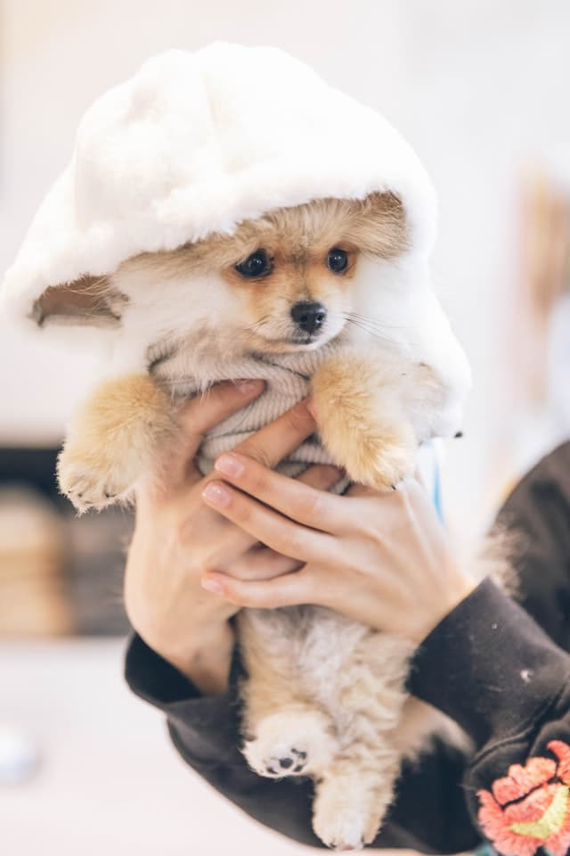 Cute Pomeranian Names for Dogs