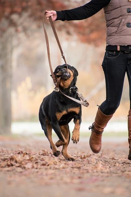German Male Rottweiler Names