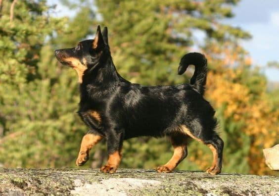 Lancashire Heeler Dog Names