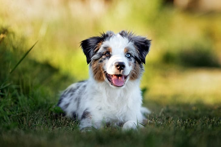 Miniature American Shepherd Male Names