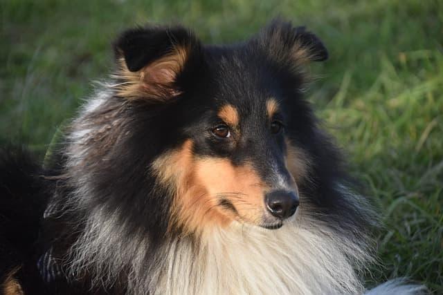More Shetland Sheepdog Names