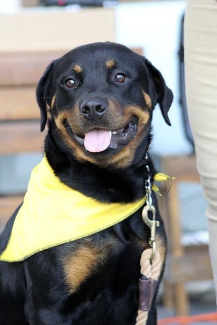 Rottweiler Happy Dog Smile Good Behavior