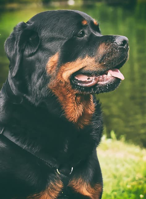 Rottweiler Purebred Dog Animal Dog Peaceful Pet