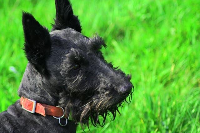 Scottish Terrier Dog Names