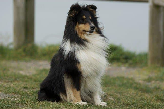 Shetland Sheepdog Names