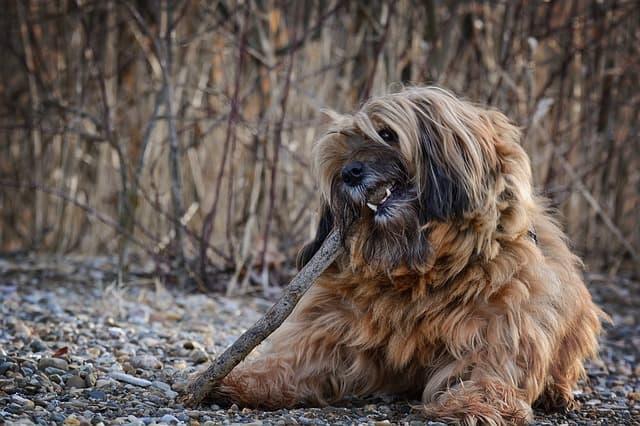 Tibetan Terrier Dog Names
