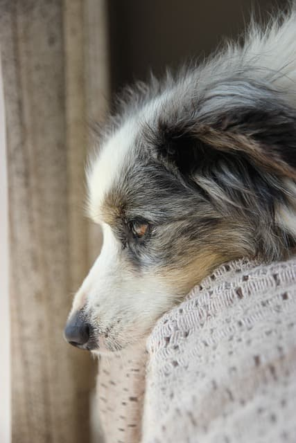 miniature american shepherd dog names