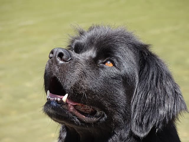 newfoundland dog names