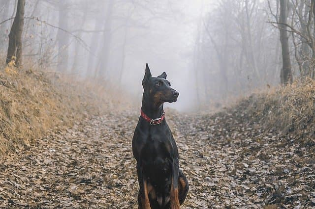 A Complete List of Powerful Doberman Names