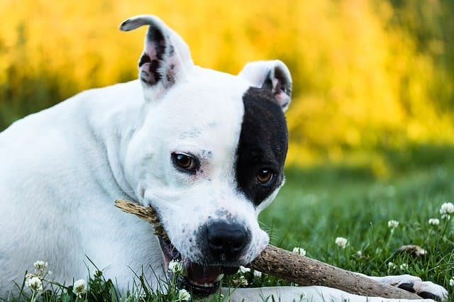 American Staffordshire Terrier Dog Names