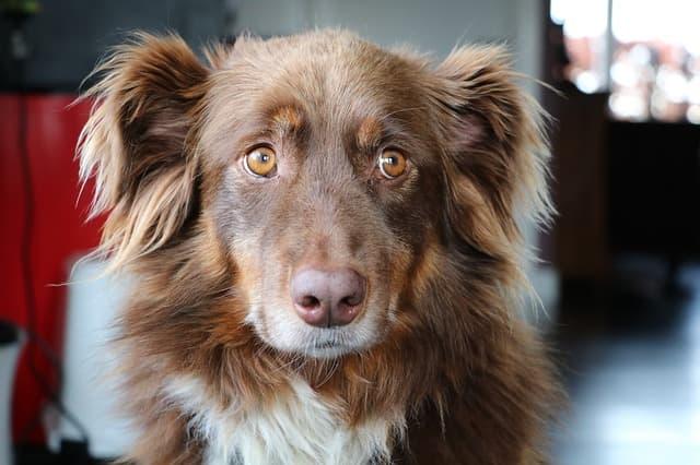 Australian Shepherd Puppy Names