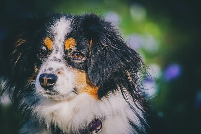 Badass Dog Names for Australian Shepherd