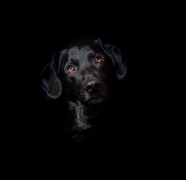 Black Girl Labrador Names
