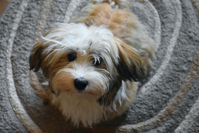 Cuban Havanese Names for Dogs