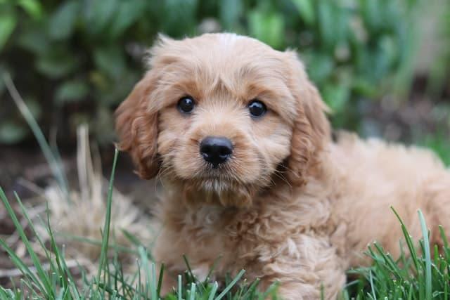 Cute Girl Cavapoo Dog Names