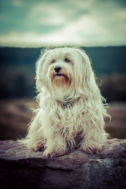 Female Havanese Dog Names