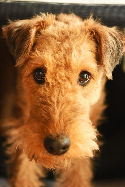 Good Airedale Terrier Names