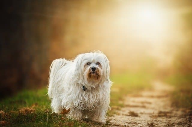 Havanese Dog Names for Male and Female