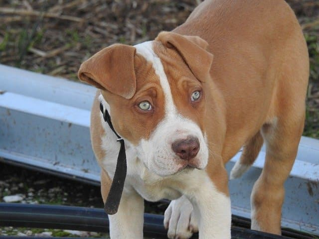 Mexican Dog Names for Pitbulls
