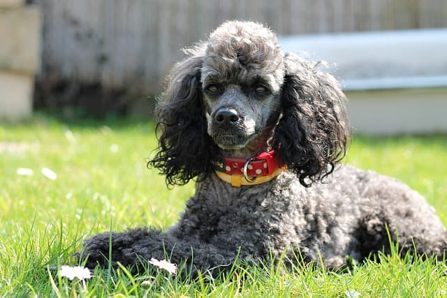 Silver Poodle Names for Dogs