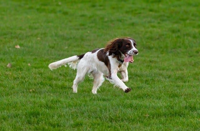 Springer Spaniel Dog Names
