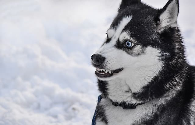 Unique Siberian Husky Names for Your Winter-Loving Dog