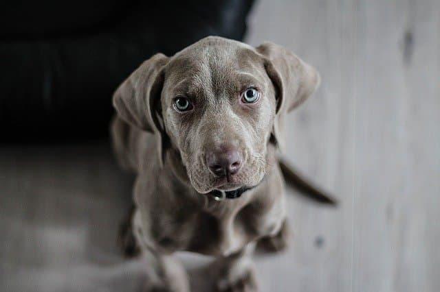Weimaraner Dog Names