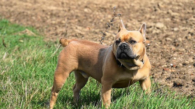 french bulldog strong boy dog names