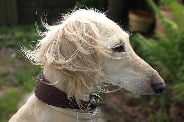 Arabic Saluki Names for Dogs