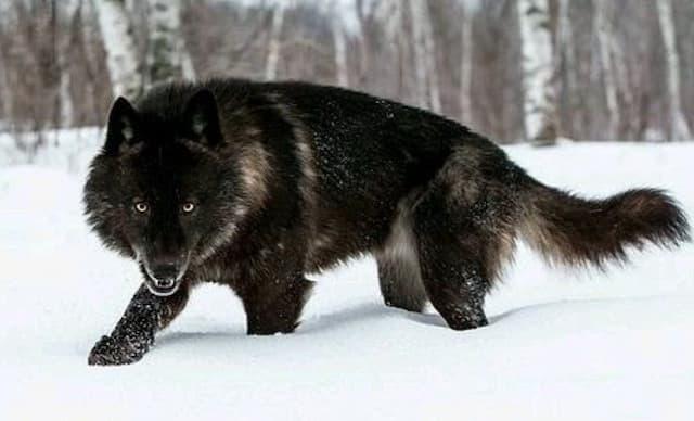 Black Wolf Names