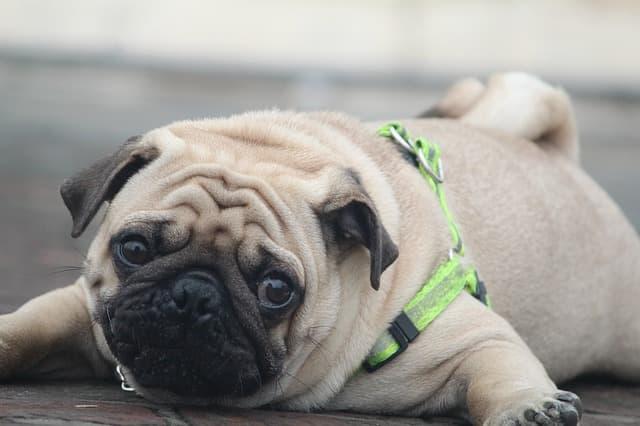 Exotic Pug Names