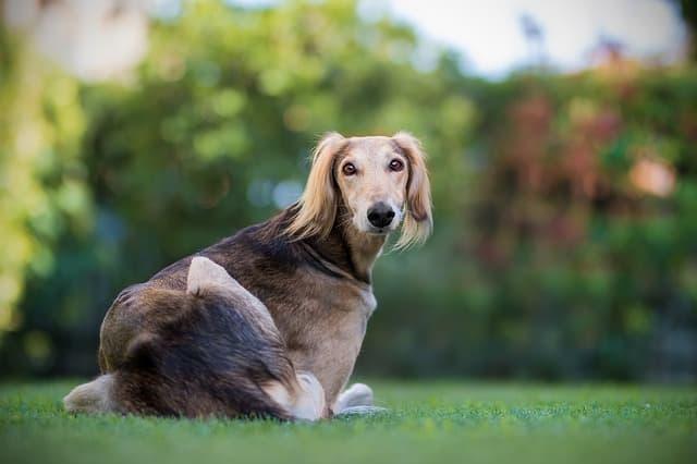 Female Saluki Names for Dogs