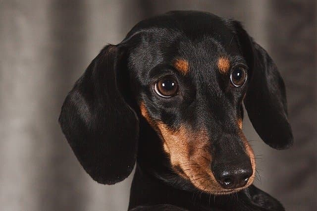 Funny Wiener Dog Names for Male and Female Puppies