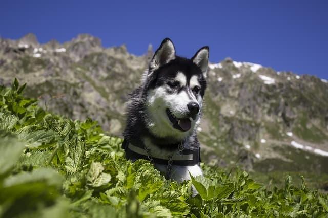 Good Names for Siberian Husky