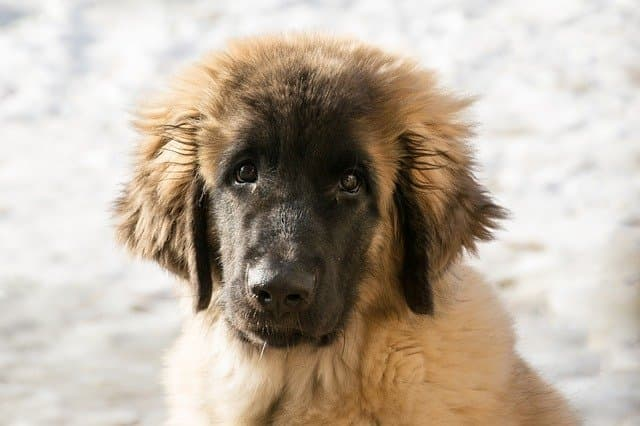 Leonberger Dog Names
