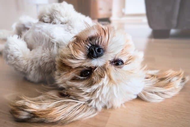 Lhasa Apso Dog Names