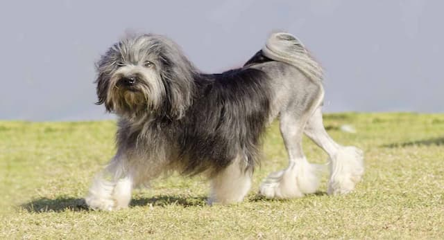 Lowchen Dog Names