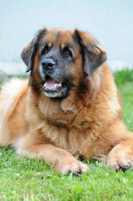 Names for Male Leonberger Dogs