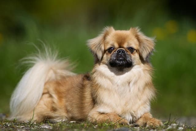 Tibetan Spaniel Dog Names