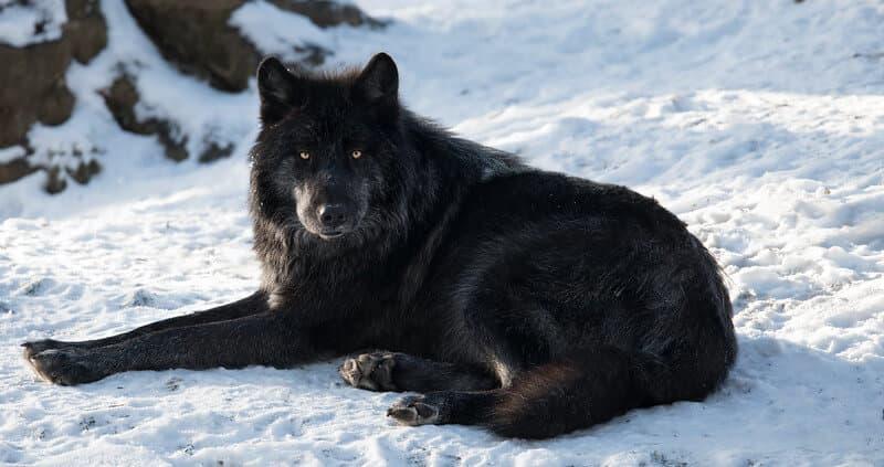 Tough Sounding Wolf Names