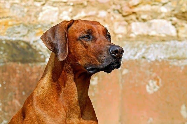 rhodesian ridgeback dog names