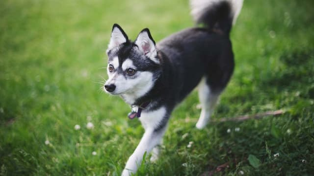 Alaskan Klee Kai Dog Names for Male and Female Puppies