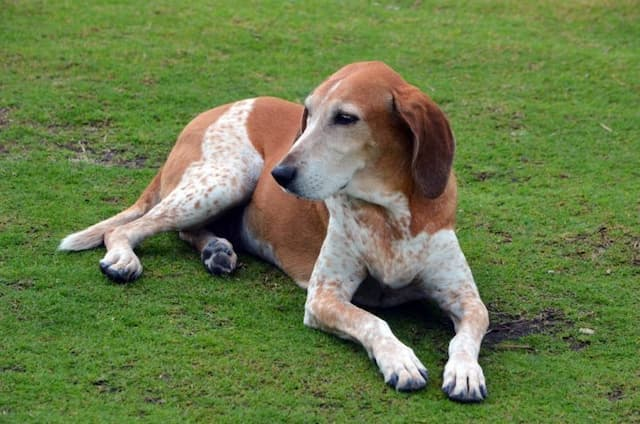 American English Coonhound Names for Male and Female Puppies