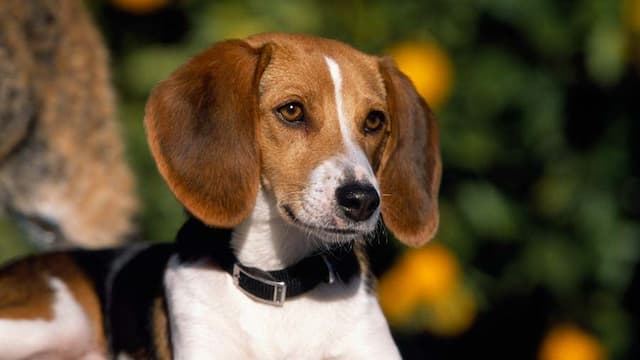 American Foxhound Dog Names for Male and Female Puppies
