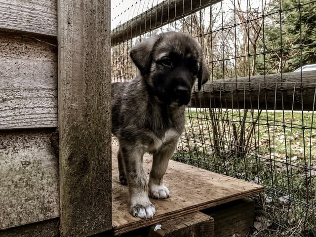 Anatolian Shepherd Dog Names for Male and Female Puppies