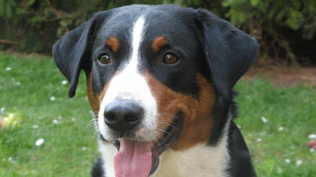 Appenzeller Sennenhund Dog Names for Male and Female Puppies