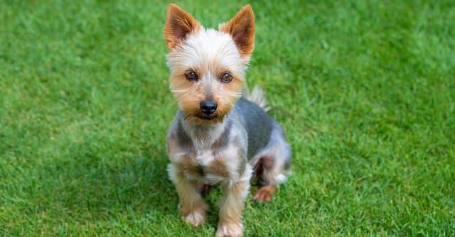 Australian Silky Terrier Names