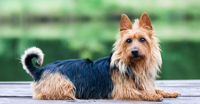 Australian Terrier Dog Names for Male and Female Puppies